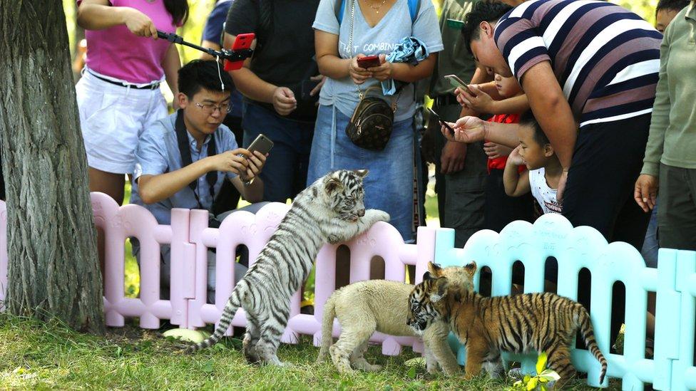 السواح يلتقطون الصور لجراء النمر وشبل أسد وهم يمرحون في حديقة حيوانات في بكين، الصين.
