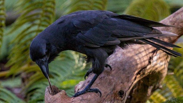 Tool-using Hawaiian crow (c) Lisa Bissi