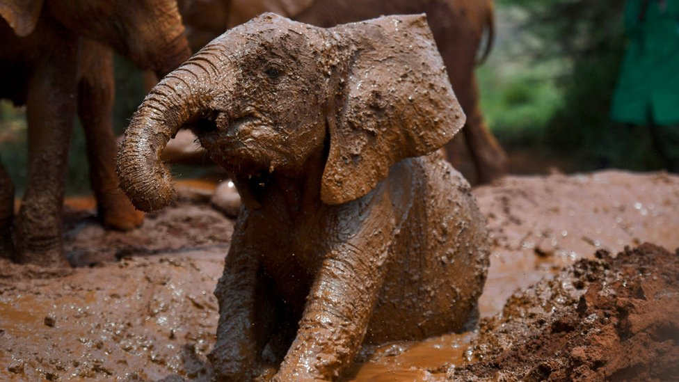 A baby elephant is covered head to tail in soft brown mud in this photograph
