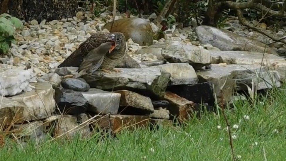 Robin feeding cuckoo
