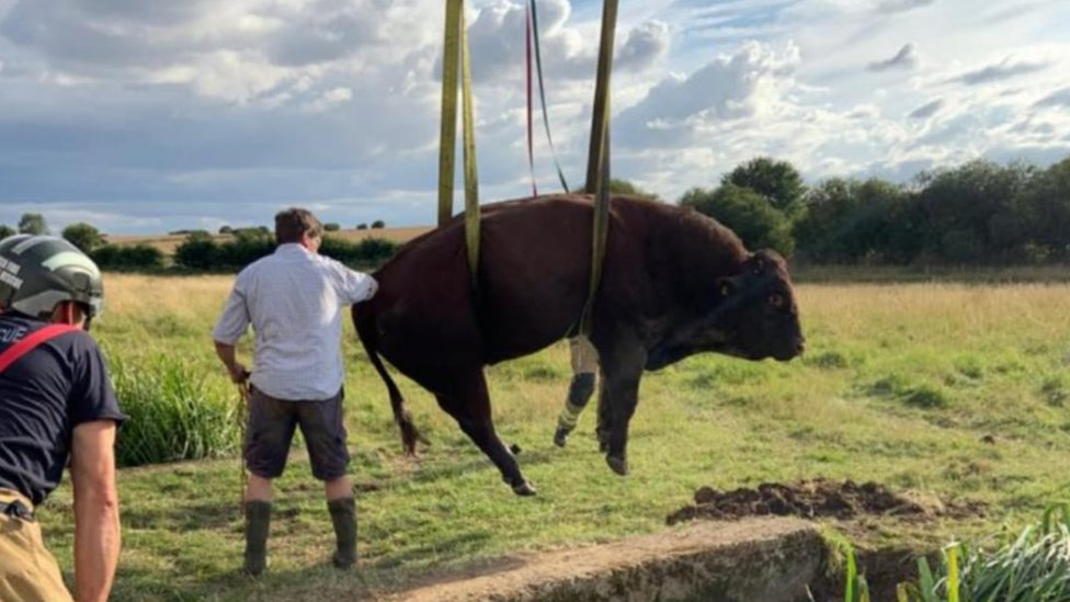 Bull rescued