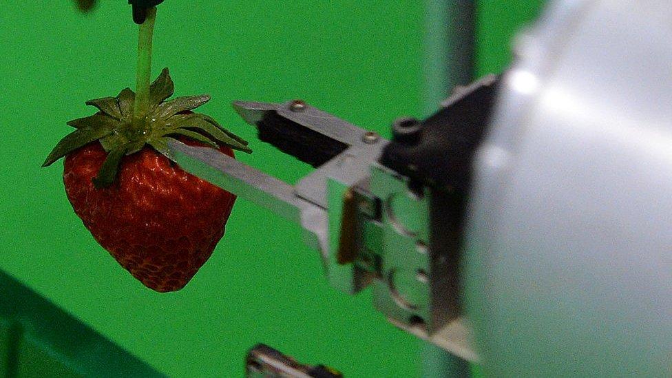 日本。機器手摘草莓