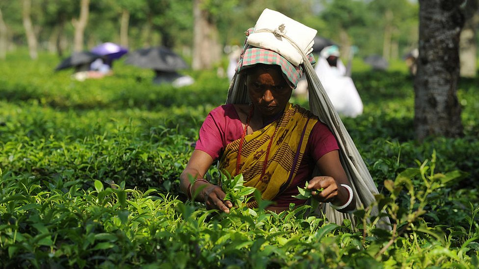 A woman picks tea outside Siliguri, in West Bengal