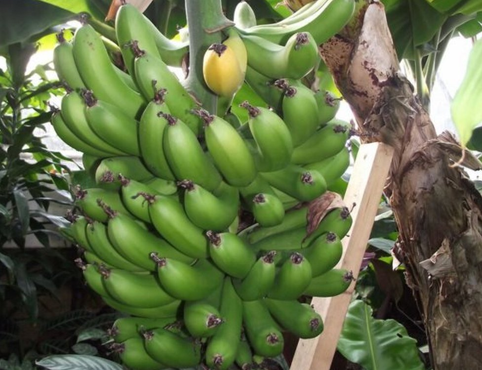 Chatsworth's banana plant