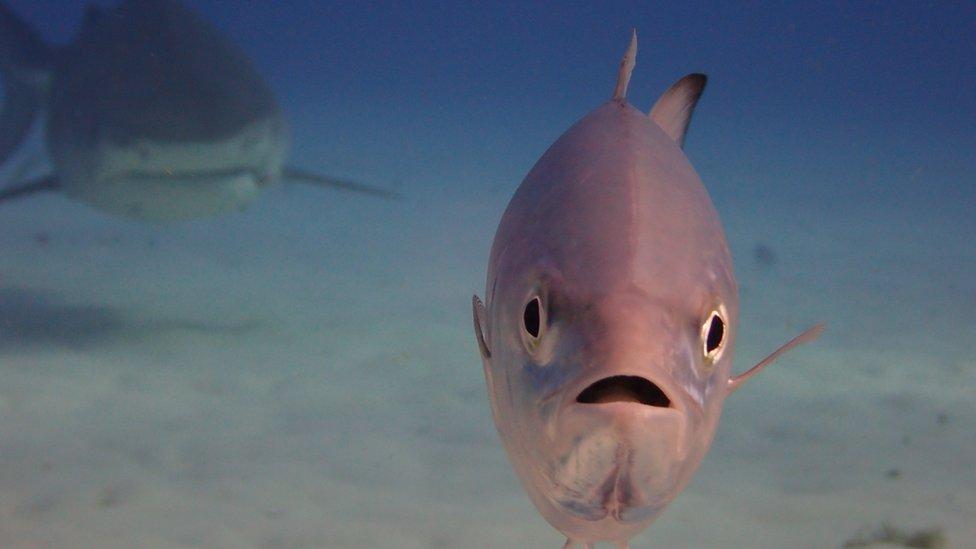 riba koju prati ajkula