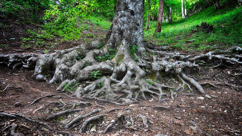 ağaç kökleri