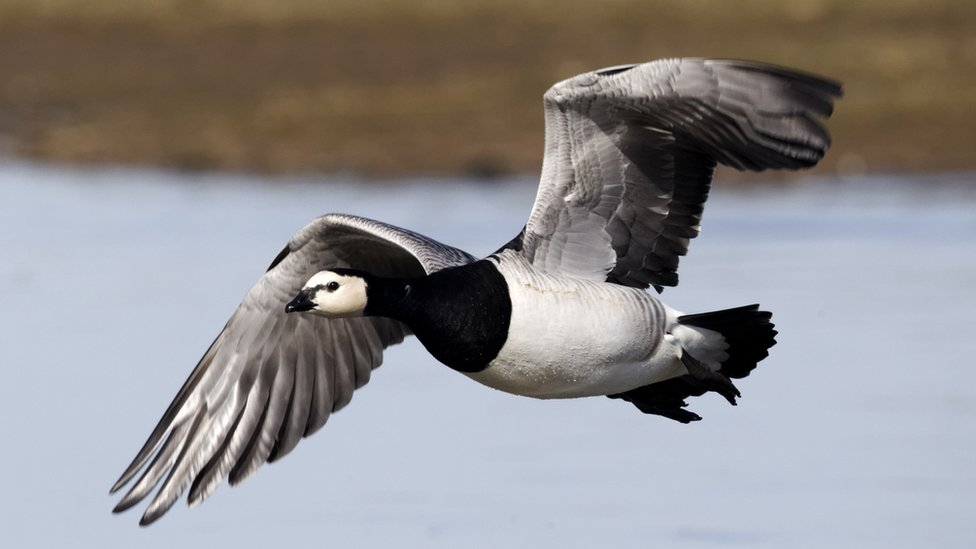 Wild Geese Change Routes To Cope With Climate Change Bbc News