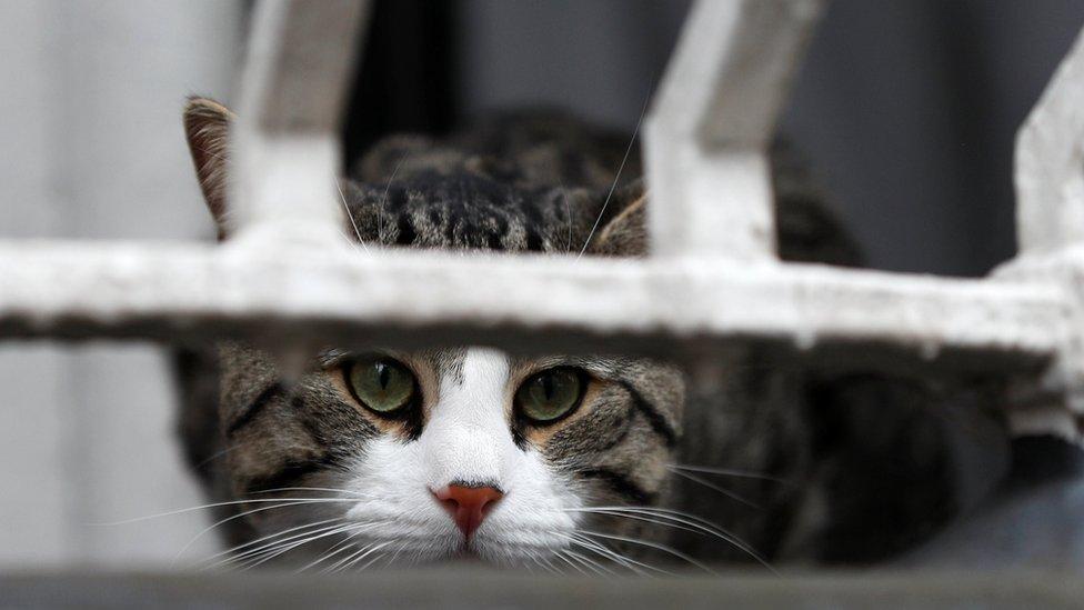 asanžova mačka
