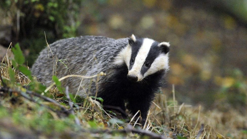 Badger generic