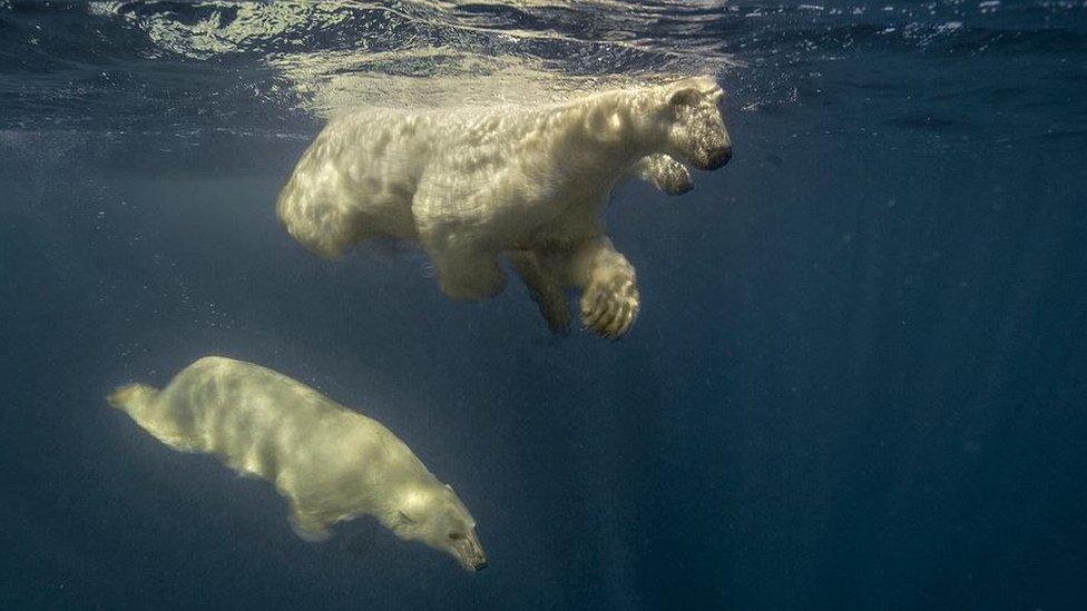 Three polar bears in Hudson Bay, the Arctic