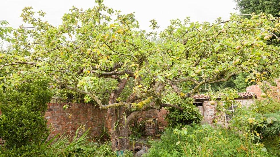University's bid to save original Southwell Bramley apple tree