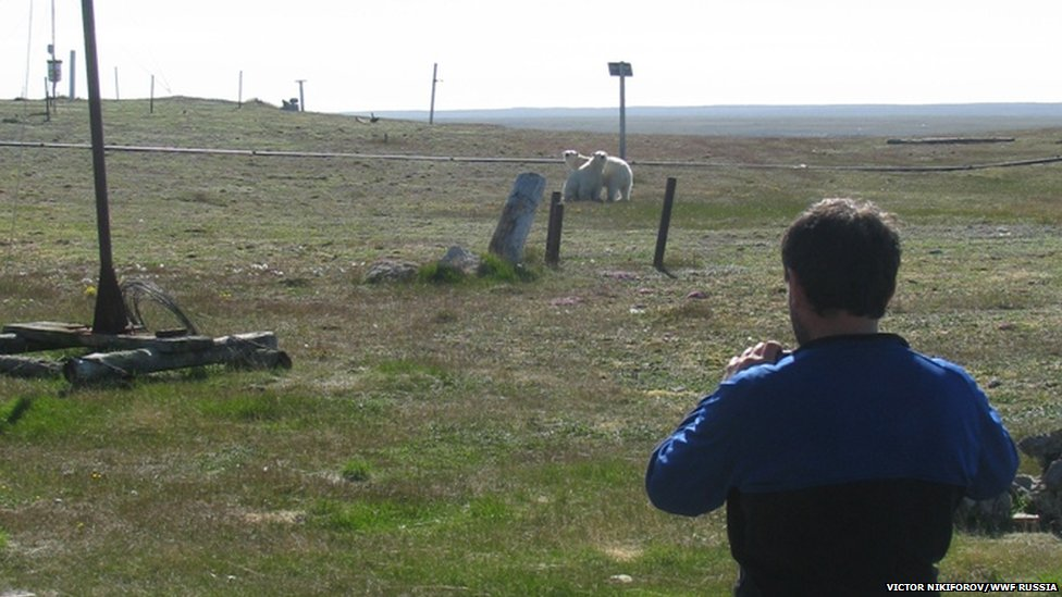 A scientist looks on at two polar bears in northern Russia