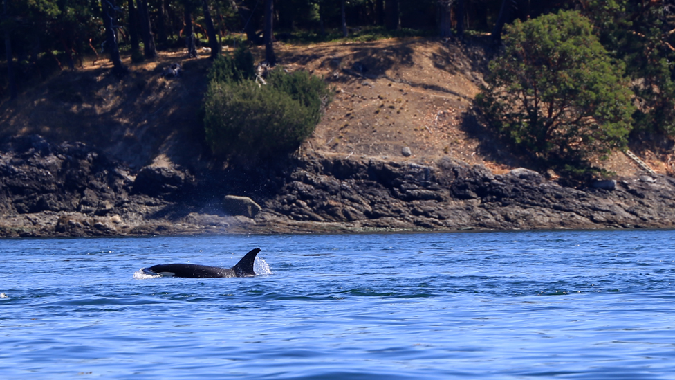 An older female orca leads the way with her pod trailing behind