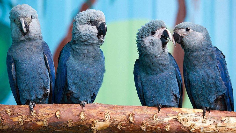 Cuatro ejemplares de guacamayo azul