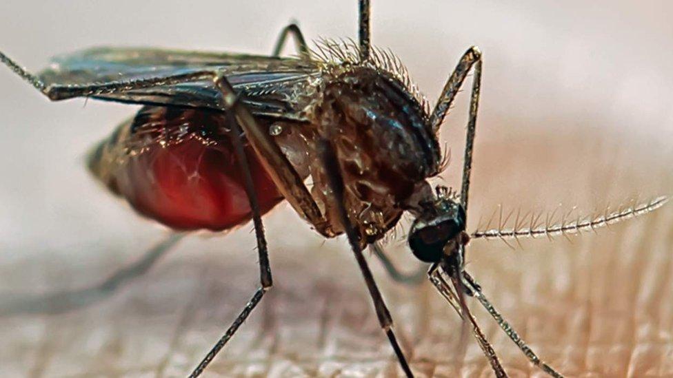 Malaria mosquito on skin
