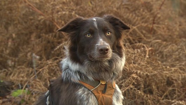 Sussex search dog