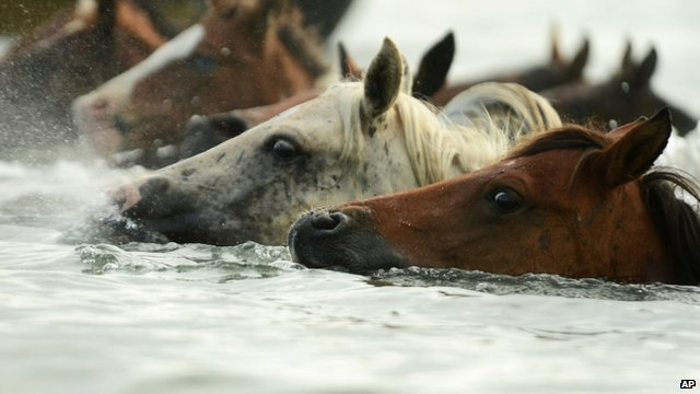 Close up of ponies heads sticking out of the water as they swim in the annual 'pony swim' on Chincoteague Island in the US state of Virginia