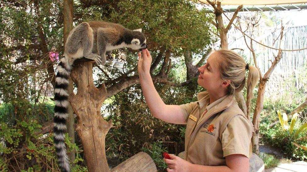 Animal keeper Jenna Lowe feeds a lemur
