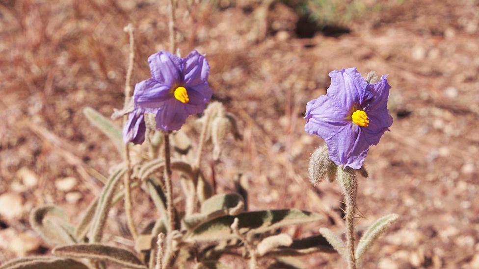 Flor de Solanum plastisexum