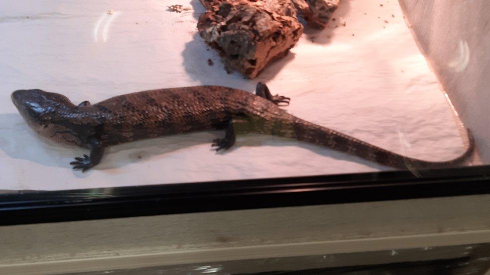 A rescued lizard