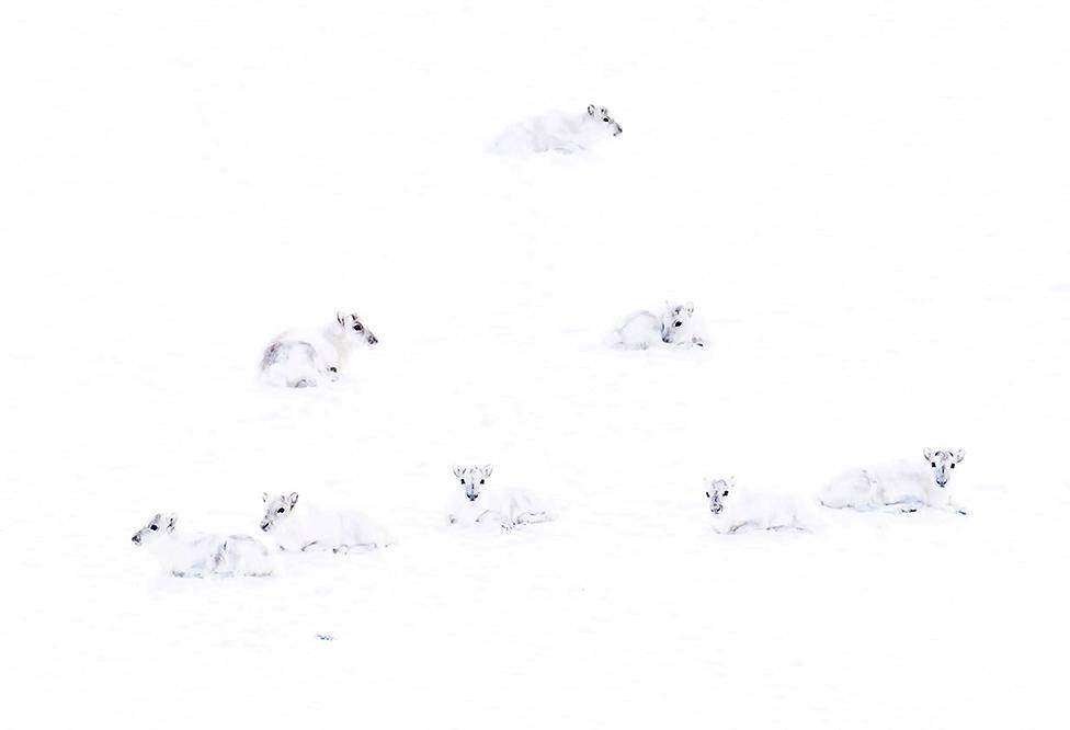 beli arktički jeleni