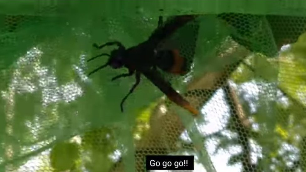 Hornet caught in the mosquito net