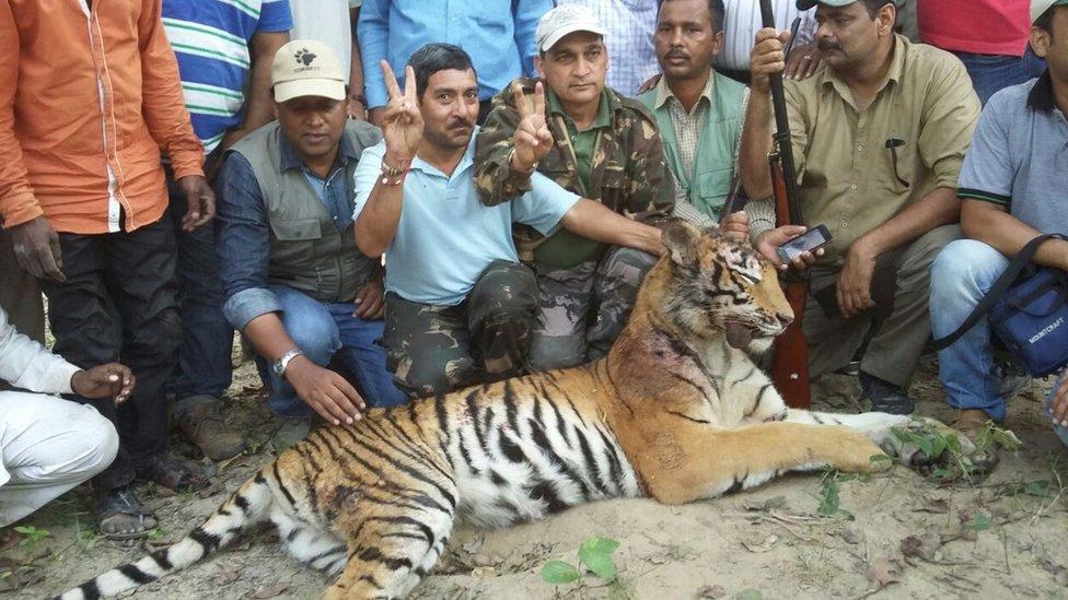 harimau, india