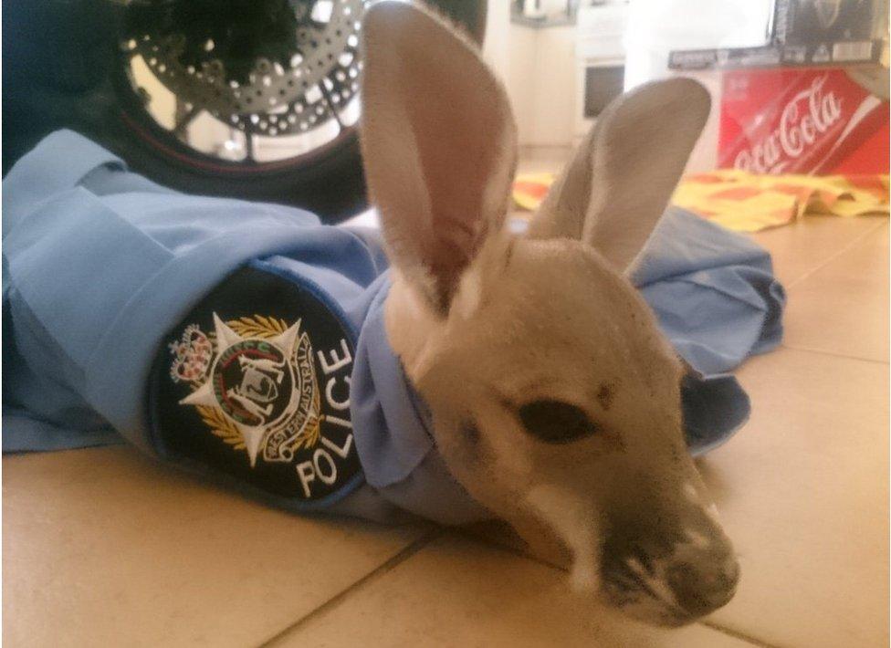 Cuejo the joey in a police uniform