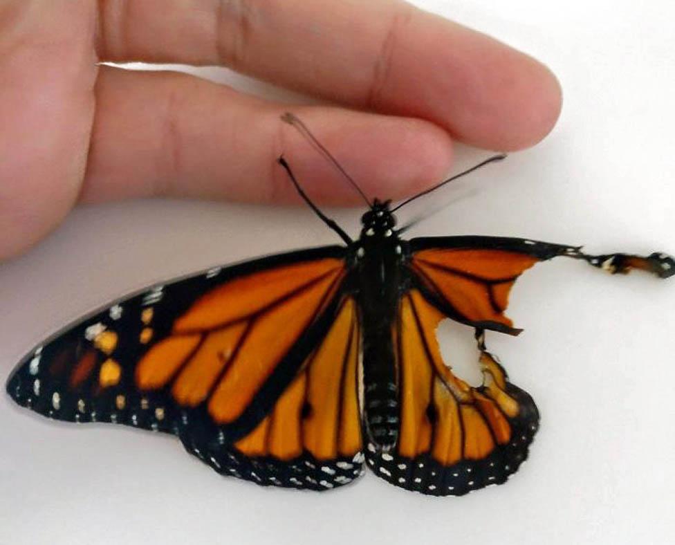 Oštećeno krilo leptira