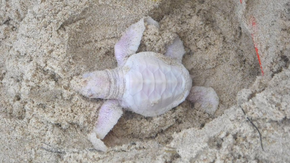 Albino turtle on Queensland beach