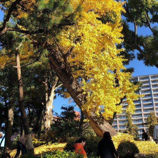 Gingko del jardín Shukkeien lleno de hojas amarillas en otoño