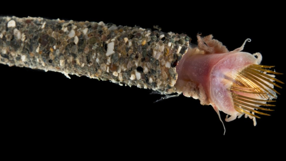 A 6cm long example of a Family Pectinariidae ice cream cone worm