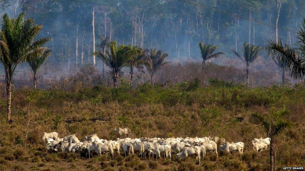 Cattle grazing on cleared rainforest (Getty Images)