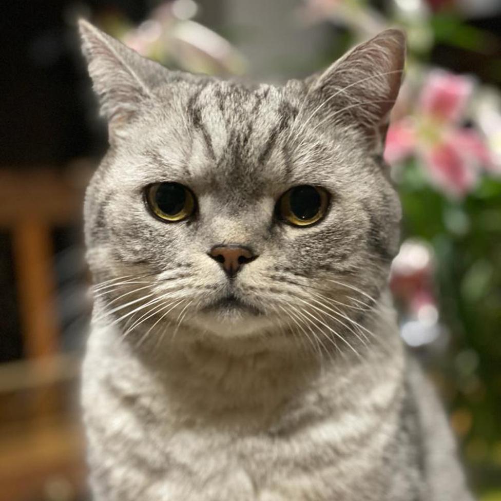 Фотография Эдди, британской короткошерстной серебристой полосатой кошки.