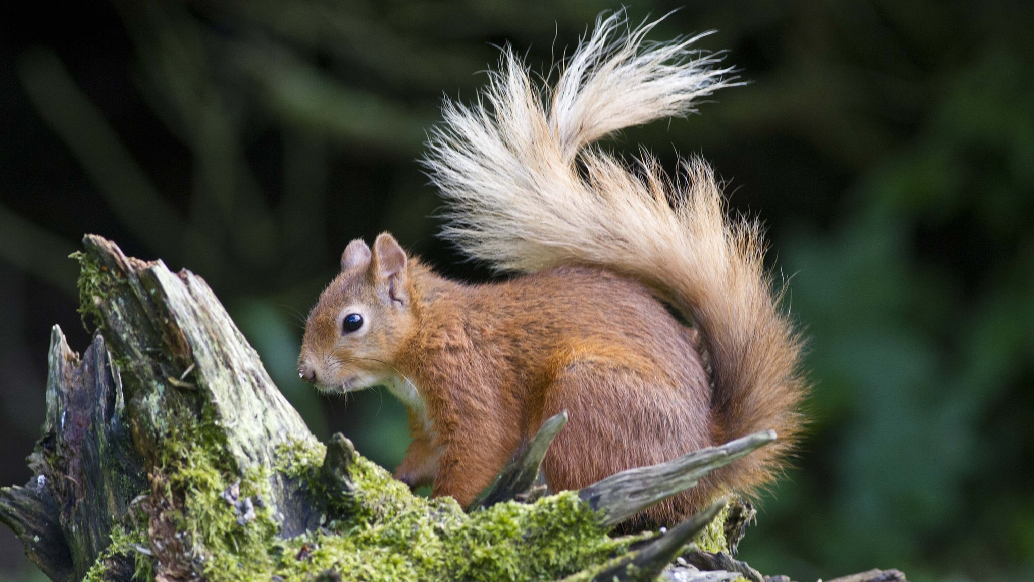 Red squirrels: Call to 'step up' fight to protect species