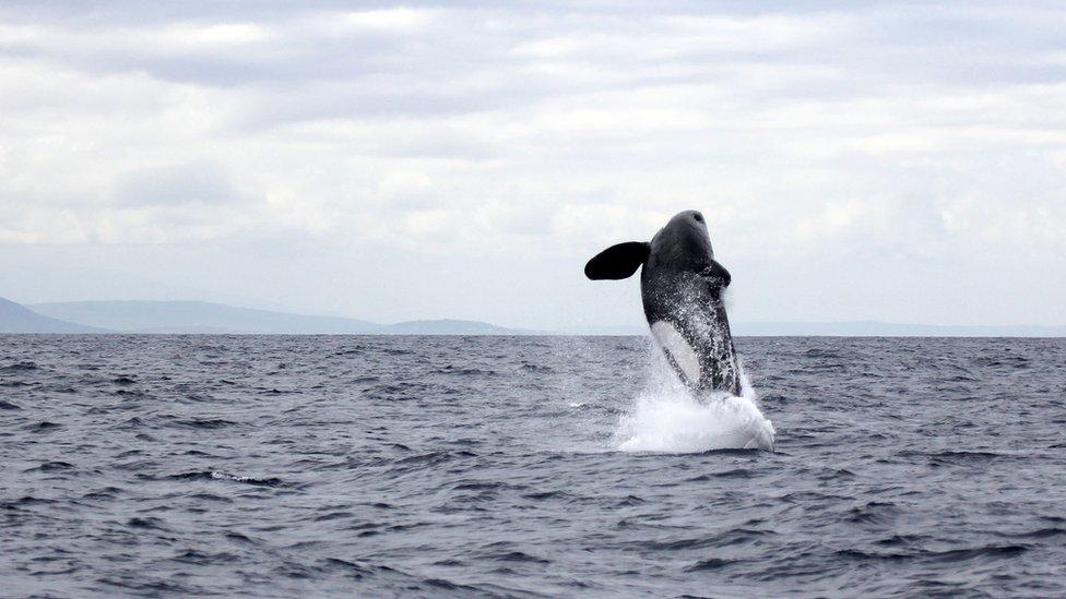 Orca saltando en el óceano