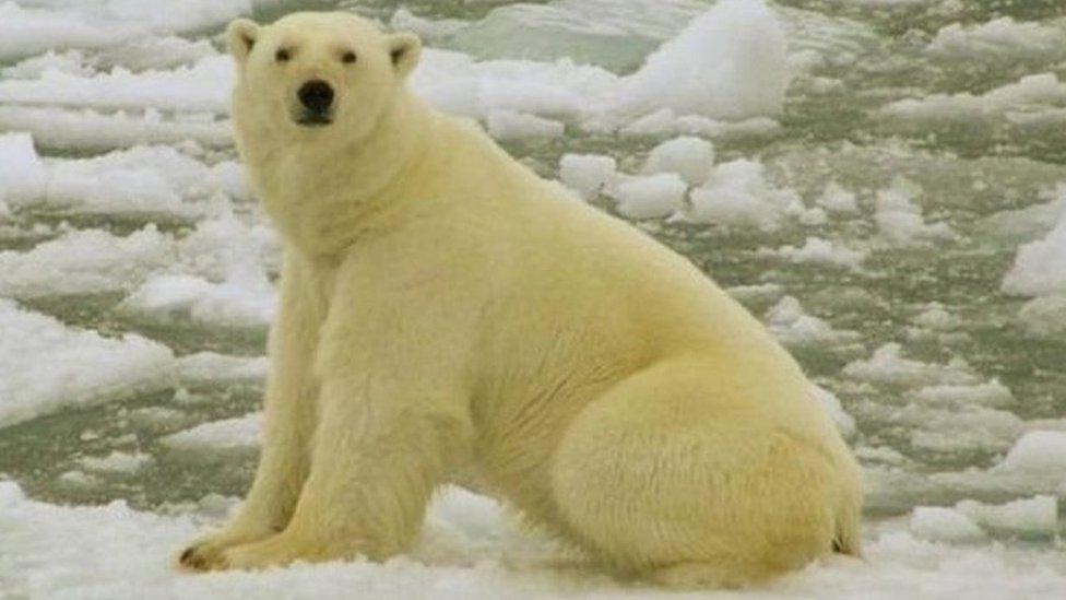 भालुओं के ख़ौफ़ से रूस में इमरजेंसी !