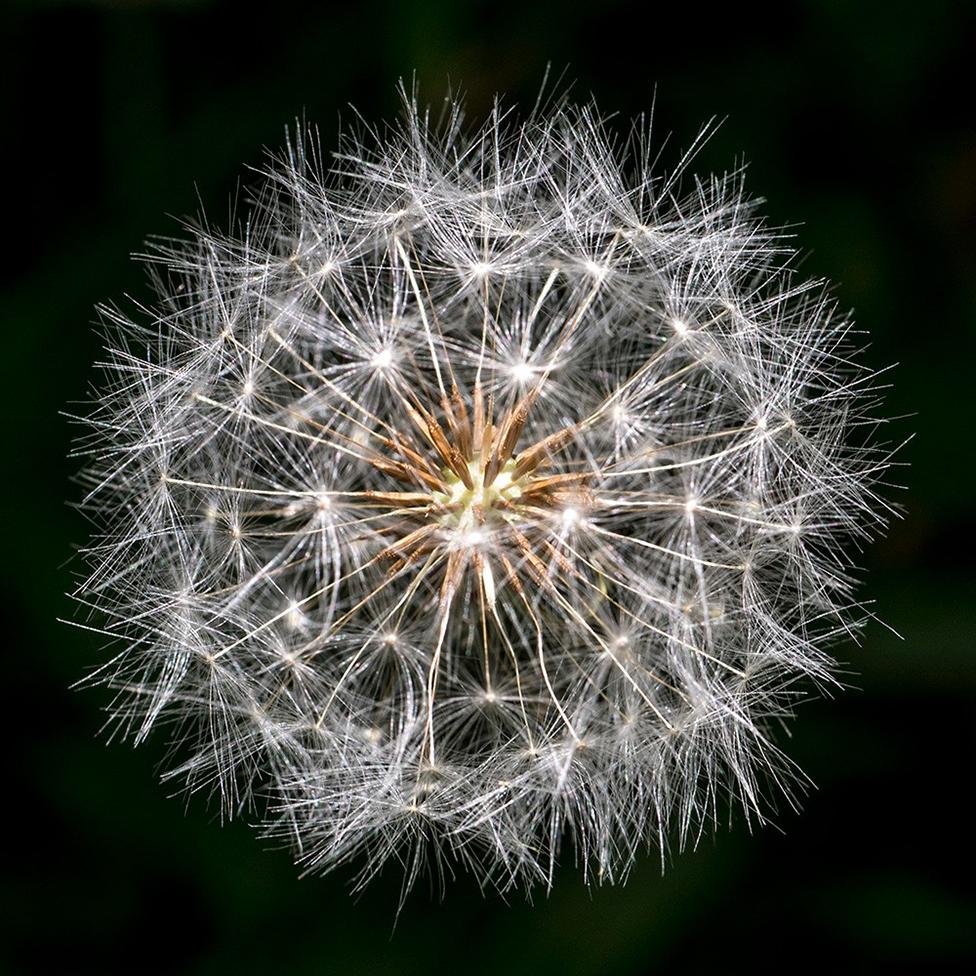 A dandelion head