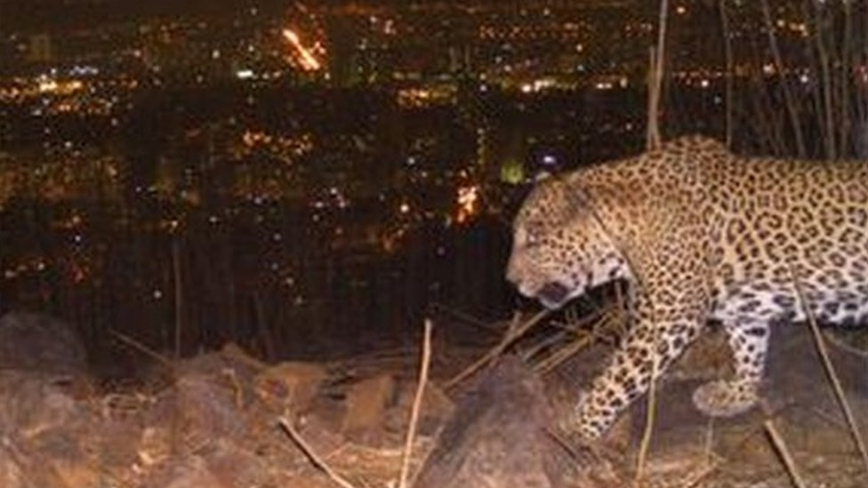 Peneliti mengatakan macan tutul di Mumbai memangsa anjing liar.