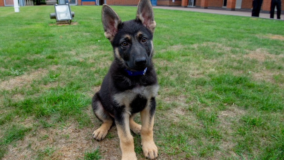 New Northamptonshire Police puppy in memory of fatally shot dog