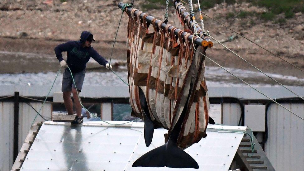Expertos liberando ballenas en redes especiales.