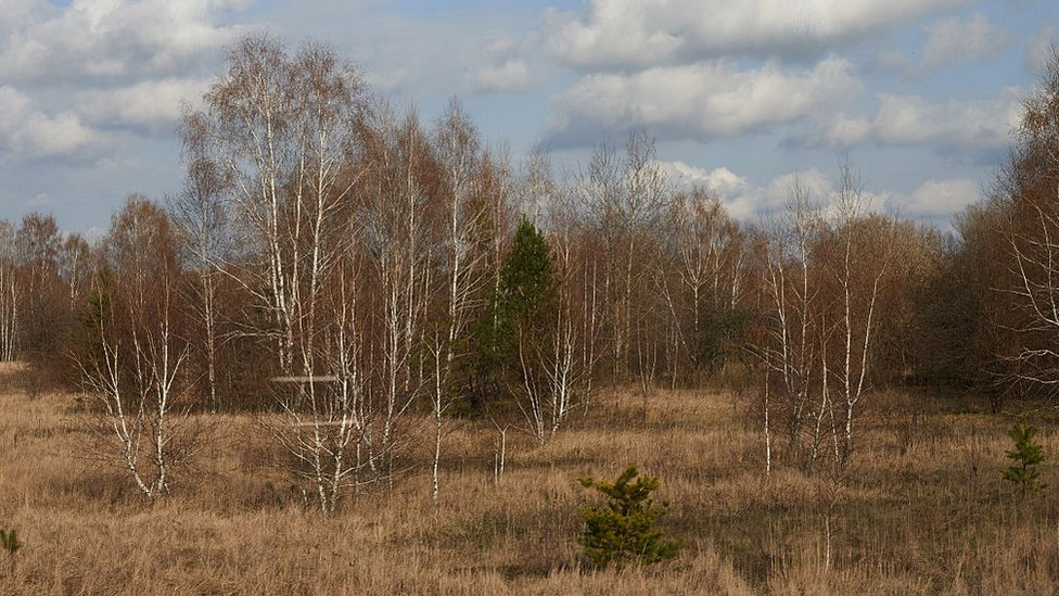 Bosque rojo de Chernóbil.