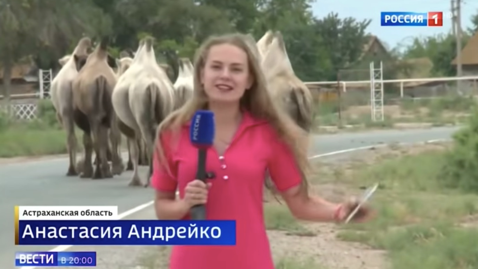 Camels on road, Russia