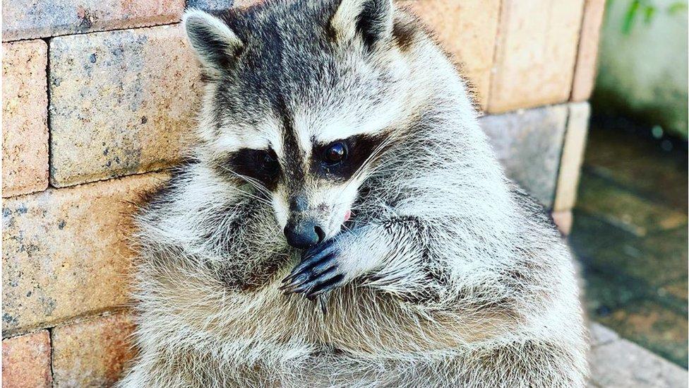 Померла єнотиха Пампкін, в якої було 1,4 мільойна підписників в Instagram