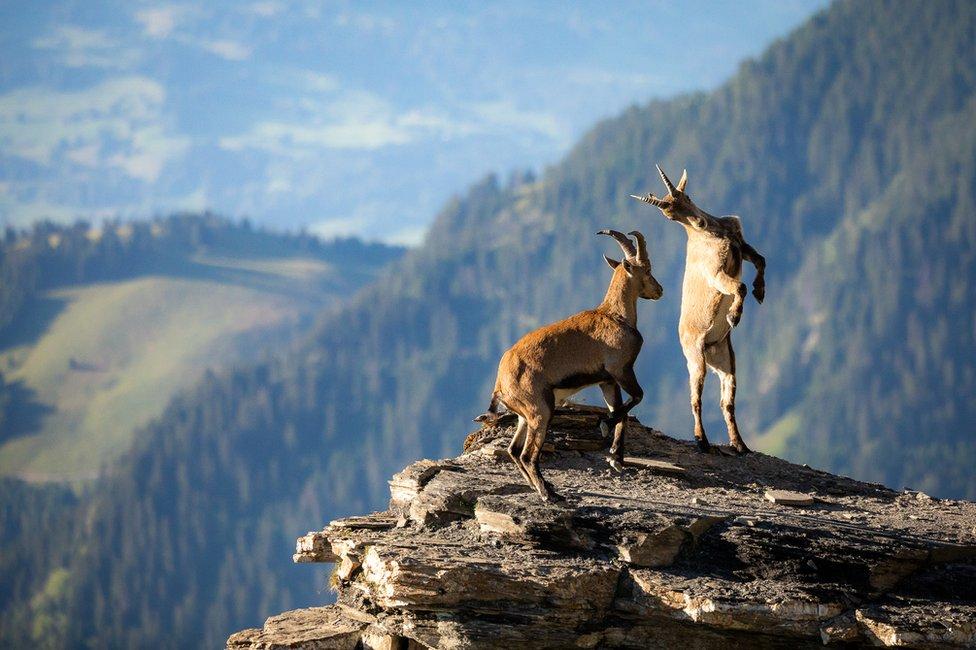 ماعزان جبليان يتقاتلان على حافة منحدر