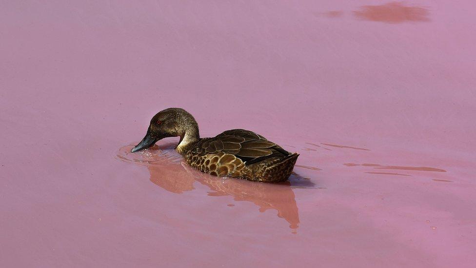 patka na roze jezeru