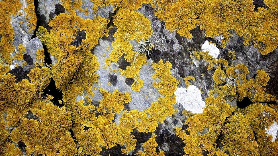 Lumut kuning di bebatuan