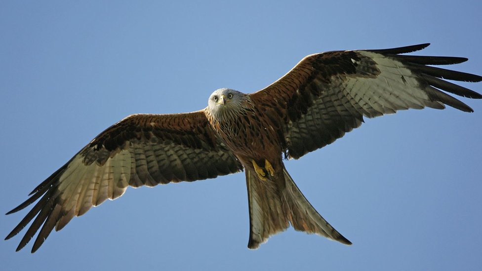 Probe after red kite caught in illegal Aberystwyth trap