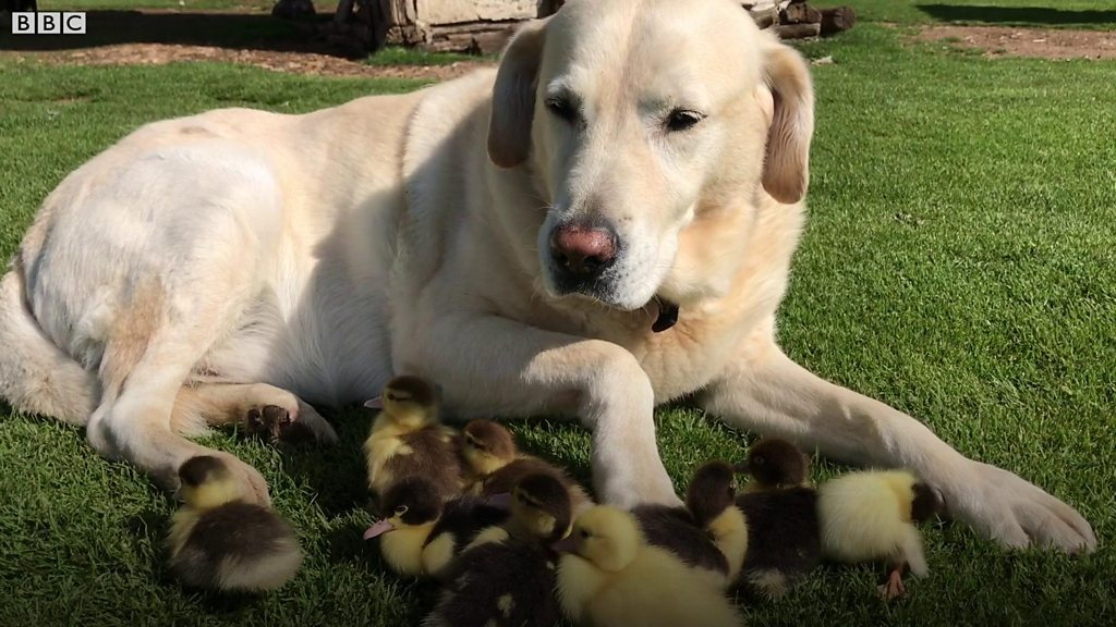 Fred the labrador takes nine ducklings 'under his paw'