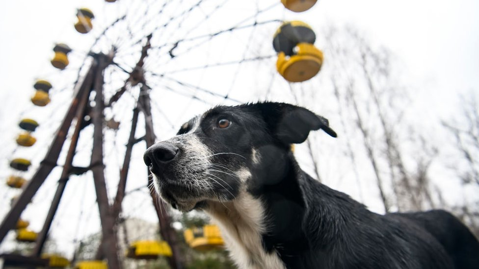 Perros en un parque de diversiones de Prypiat, una ciudad abandonada después del desastre.